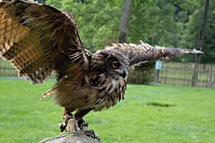 Eagle owl. Bird of prey with spread wing royalty free stock image