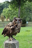 Eagle owl. Bird of prey with spread wing stock photography