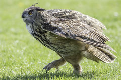 Eagle Owl bird of prey walking on the ground Stock Image