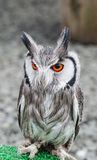Eagle owl with bright orange eyes Stock Photo