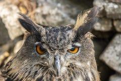 Eagle Owl, bubão do bubão, pássaro de rapina imagem de stock