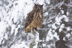 Eagle owl /Bubo  Bubo/ Royalty Free Stock Photo