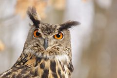 Eagle owl /Bubo  Bubo/ Royalty Free Stock Images