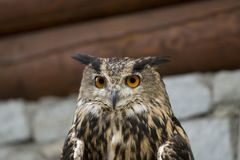 Eagle Owl ( bubo bubo ) Royalty Free Stock Photo