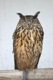 Eagle Owl (Bubo bubo) Royalty Free Stock Image