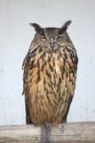 Eagle Owl (Bubo bubo). A sleeper, adult eagle owl (Bubo bubo Royalty Free Stock Image