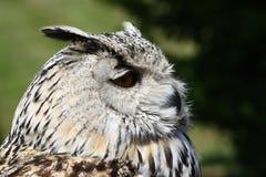 Eagle owl (Bubo bubo). A portrait of a beautiful eagle owl (Bubo bubo royalty free stock photography