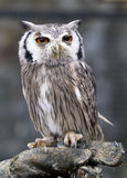 Eagle owl, Bubo bubo Stock Photos