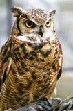 Eagle owl, Bubo bubo stock photos