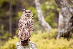 Eagle Owl Bubo Bubo royalty-vrije stock afbeeldingen