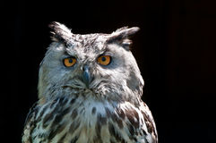 Eagle Owl (Bubo-bubo) royalty-vrije stock afbeelding