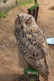 Eagle Owl, Bubo-bubo stock afbeelding