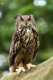 Eagle Owl (Bubo-bubo) royalty-vrije stock foto's