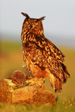 Eagle Owl, Bubo bubo, big Eurasian owl with kill hedgehog in talon, sitting on stone with evening sun light Royalty Free Stock Images