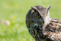 Eagle owl Bubo bubo bird of prey looking demure to the ground. Royalty Free Stock Image
