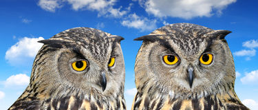 Eagle Owl. Bubo bubo close up royalty free stock images
