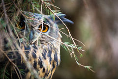 Eagle Owl, Bubo bubo Royalty Free Stock Images