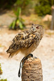 Eagle owl - Bubo bubo Royalty Free Stock Image