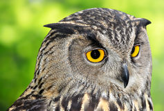 Eagle Owl. Bubo bubo on green background royalty free stock images