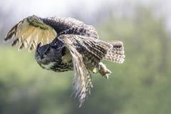 Eagle Owl Bubo-Bubo im Flug Lizenzfreie Stockfotos