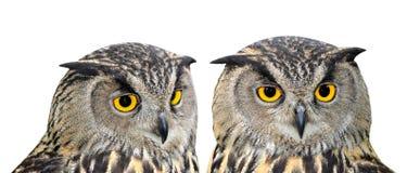 Eagle Owl. Bubo bubo isolated on white stock photos