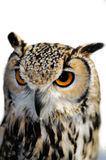 Eagle Owl, Bubo bubo, isolated on white background Royalty Free Stock Photo