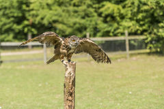 Eagle Owl (bubo bubo). Landing on wooden post Royalty Free Stock Images