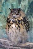 Eagle owl (Bubo bubo) Royalty Free Stock Photography