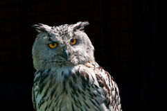 Eagle owl (Bubo bubo) Royalty Free Stock Photos