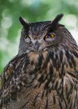 Eagle owl (Bubo bubo) portrait Royalty Free Stock Images