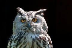 Eagle Owl (bubo de Bubo) image libre de droits
