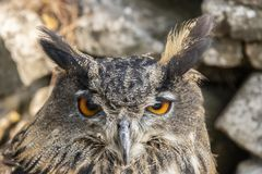 Eagle Owl, Bubo-bubo, roofvogel stock afbeelding
