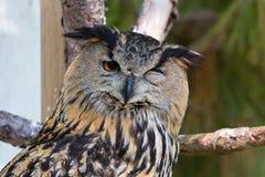 Eagle owl - bubobubo Stock Photo