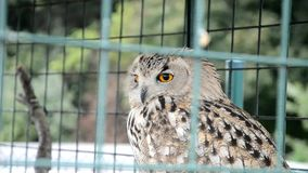 Eagle Owl in a cage stock video