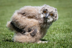 Eagle owl chick. 1 month old eagle owl chick standing on grass at ground level staring at the camera Royalty Free Stock Image