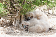 Eagle owl chicks Bubo bubo stock images