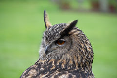 Eagle Owl close up Stock Photography