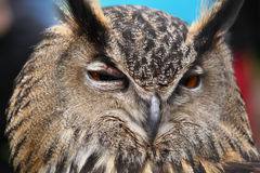 Eagle Owl close up Royalty Free Stock Photos