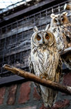 An eagle owl Stock Images