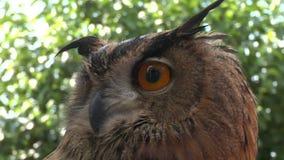 Eagle owl close up. A bird of prey, eagle owl portrait stock video footage