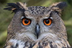 Eagle Owl Royalty Free Stock Photos