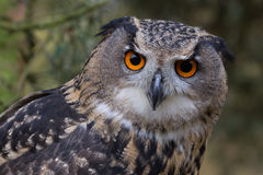Eagle Owl. Close up and detailed photograph of a eurasian eagle owl, sometimes known as a european eagle owl. Showing orange eyes staring at the camera Royalty Free Stock Images