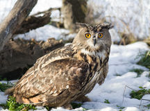 Eagle Owl. Close up of large Eagle Owl standing on grass with snow stock photo