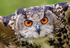 Eagle Owl close up Stock Image