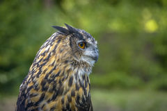 Eagle Owl close up portrait Stock Photography