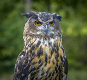 Eagle Owl close up portrait Royalty Free Stock Photos