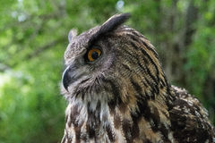 Eagle Owl Stock Photo