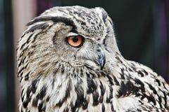 Eagle owl. Closeup of an eagle owl royalty free stock image