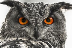 Eagle owl closeup. A close up from a eagle owl in black and white with clorful eye Stock Images