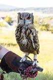 Eagle Owl, der an Hand sitzt Lizenzfreie Stockfotos